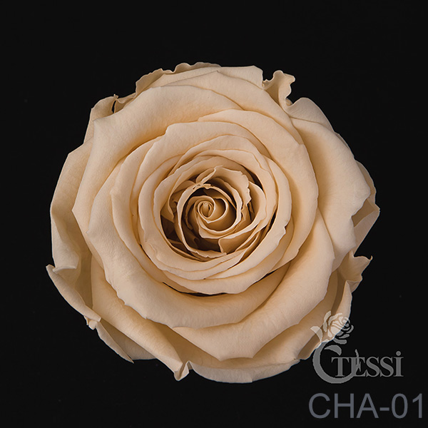 Last4ever Real Roses 6 in Box(retail) colour CHA-01
